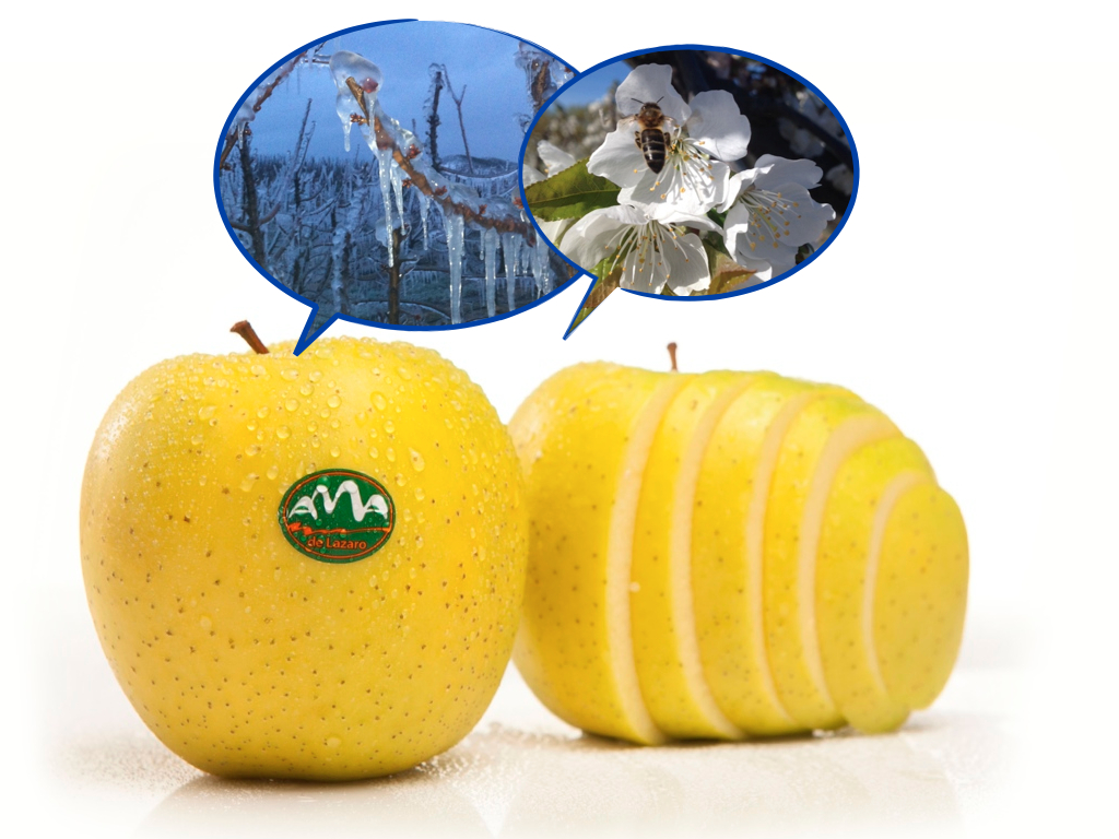 Golden – the queen of all apples